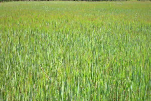 barley 1